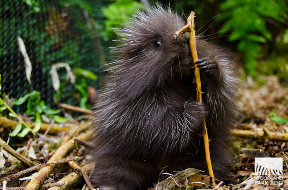 Baby porcupine at Woodland Park Zoo.