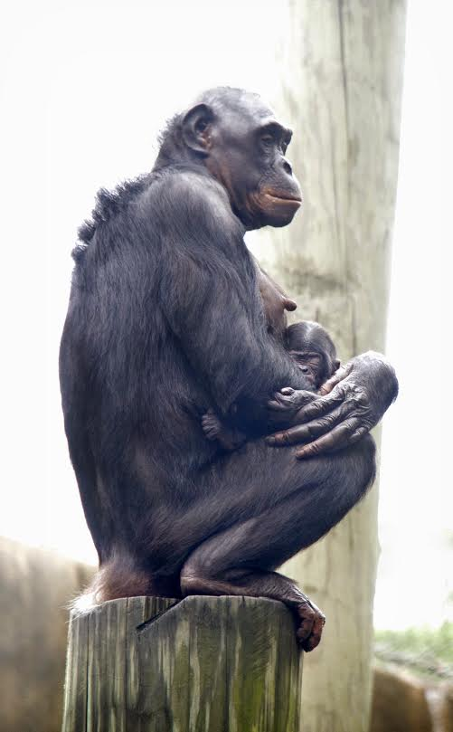 Baby bonobo and mother