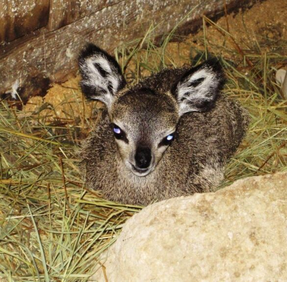 Baby klipspringer at Brevard Zoo.