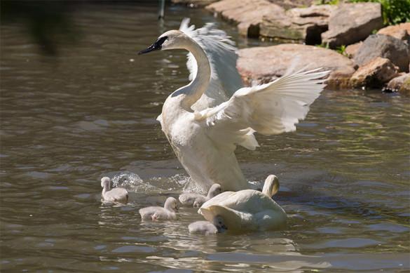 Trumpeter swan cygnets