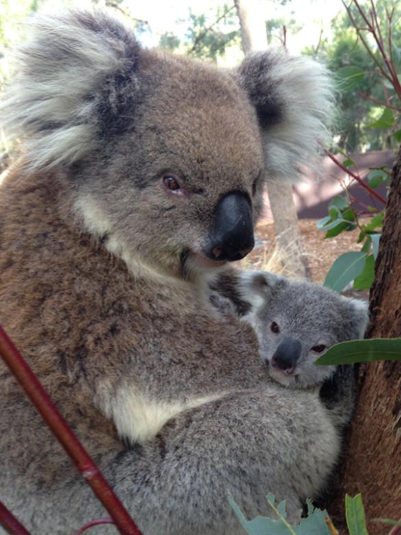 Koala joey by Rachel Hanlon_3
