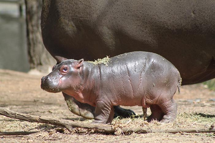 Baby Hippo At Taronga Western Plains Zoo Animal Fact Guide