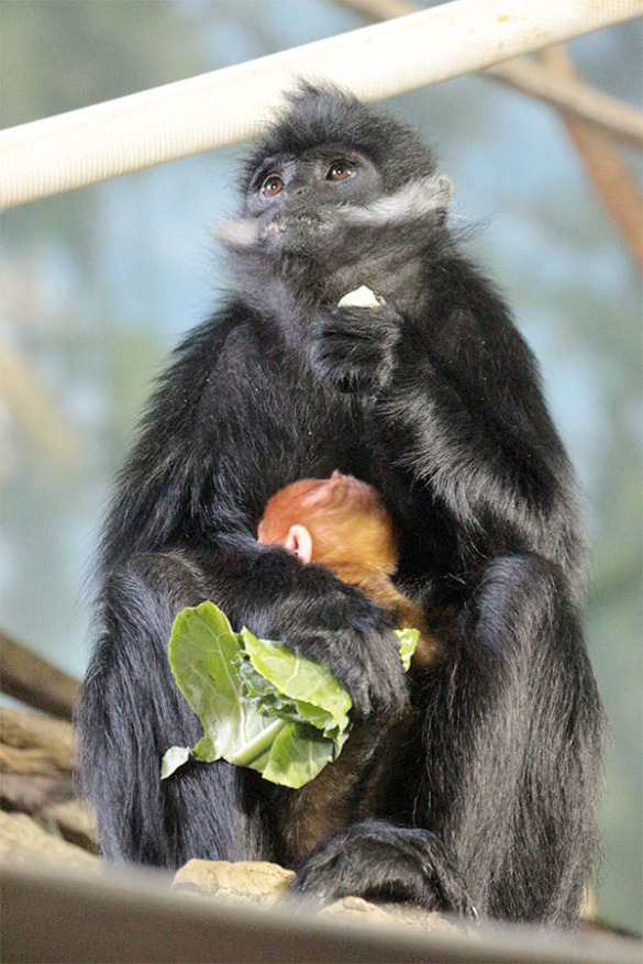 Francois langur mother and baby