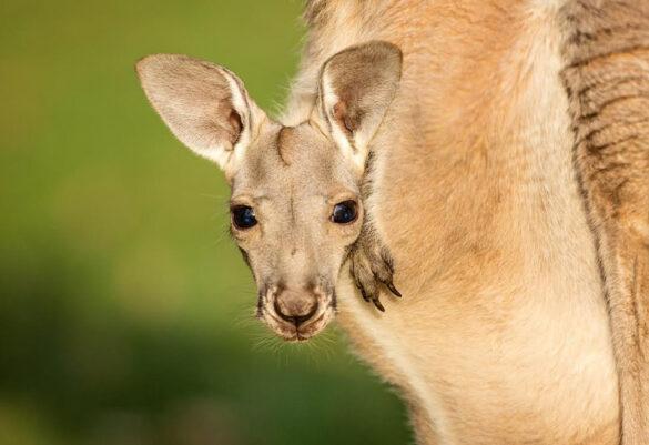 Kangaroo joey peeking out from pouch