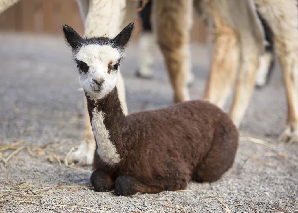 Baby Alpaca Arrives At Nashville Zoo Animal Fact Guide