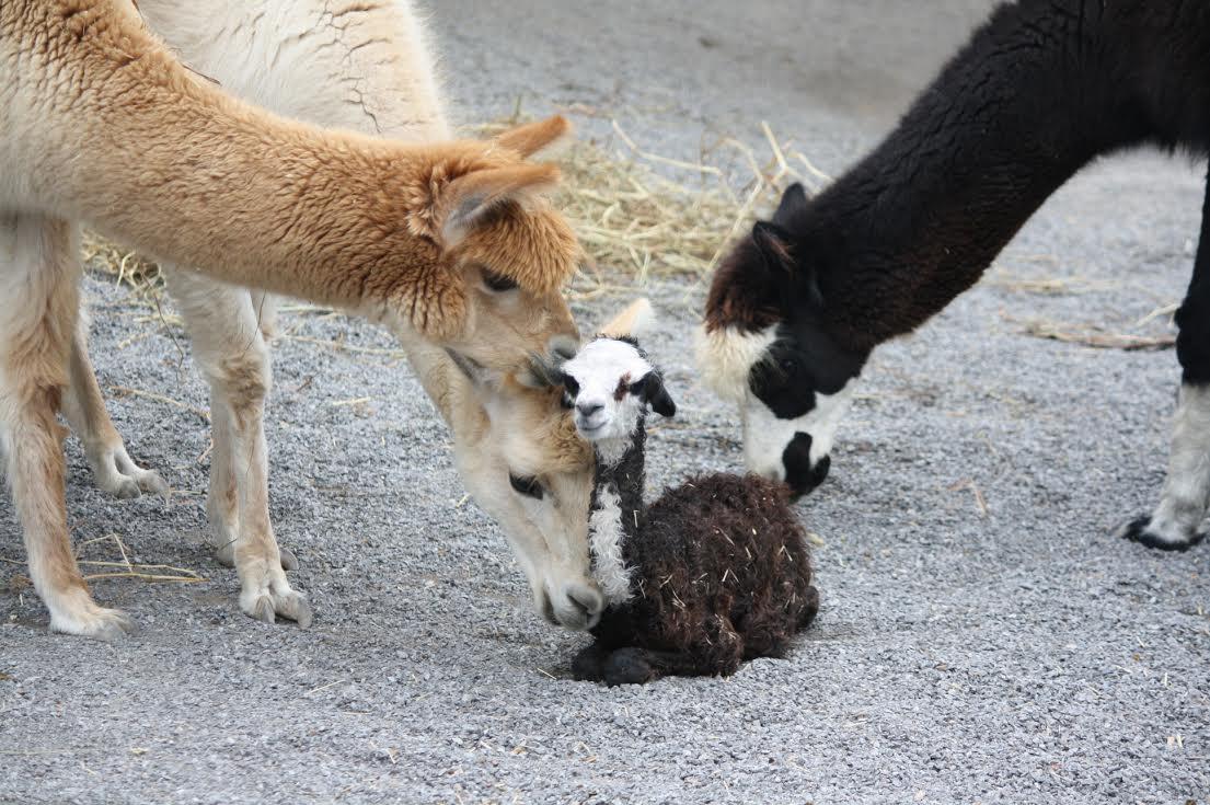 Baby Alpaca Arrives at Nashville Zoo - Animal Fact Guide