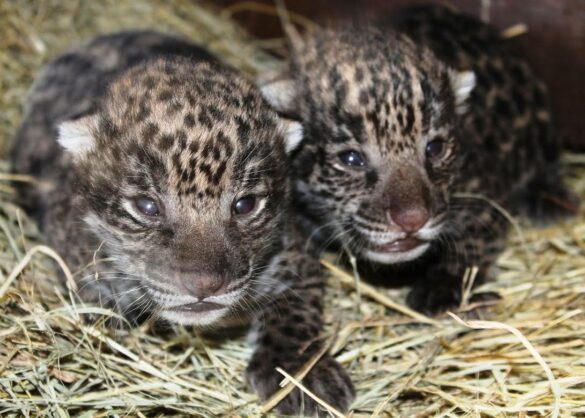 Jaguar cubs at Brevard Zoo