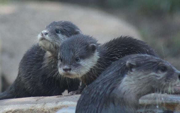 Otter pups at Taronga Western Plains Zoo