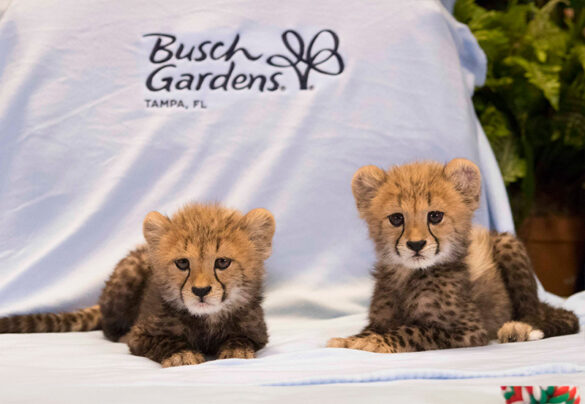 Cheetah cubs at Busch Gardens.