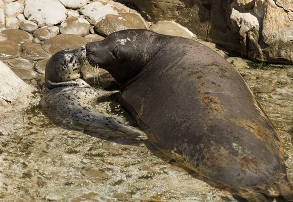 Dagwood the harbor seal with her new baby. Photo by SeaWorld® Orlando.