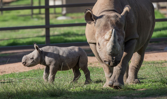 Black rhino calf and mother