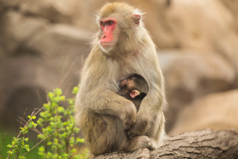 Baby Snow Monkey At Lincoln Park Zoo Animal Fact Guide