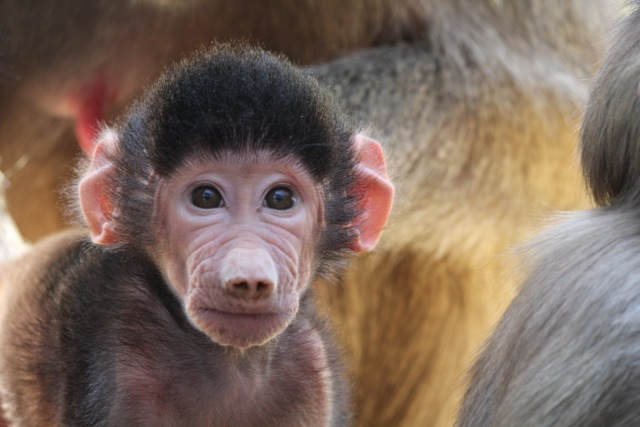 Name A Baby Baboon - Animal Fact Guide-9211