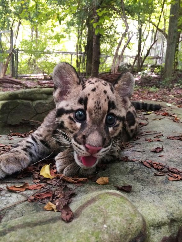 Clouded leopard cub at Nashville Zoo.