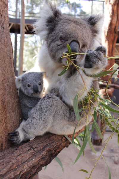 Koala joey and mother