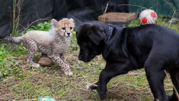 Cheetah cub and puppy