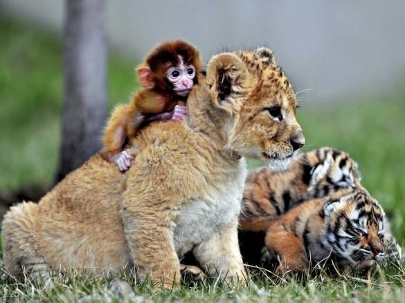 Cheetah and monkey