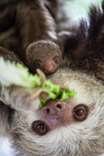 Baby sloth and mama
