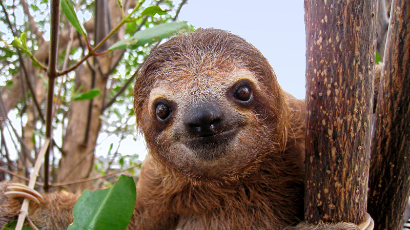 sloth facts three toed sloths brown throated sloth