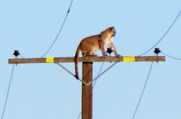 Cougar on telephone pole
