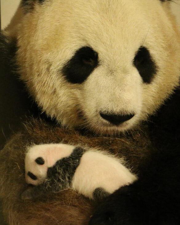 Giant panda and cub