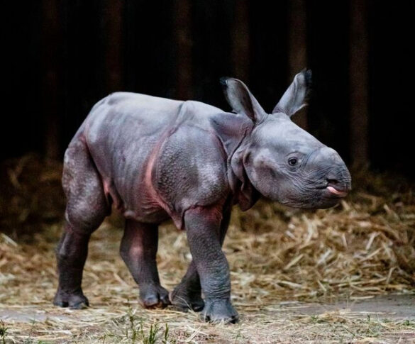 Baby greater one-horned rhino