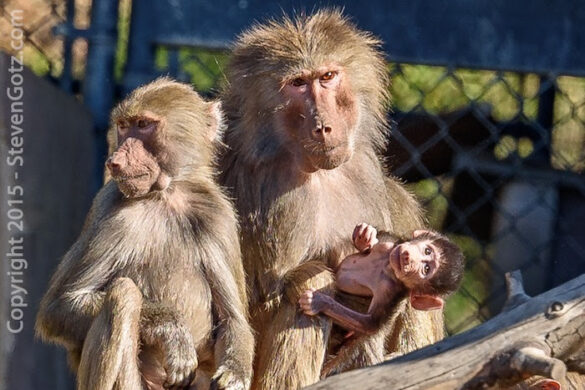 Baby baboon and parents