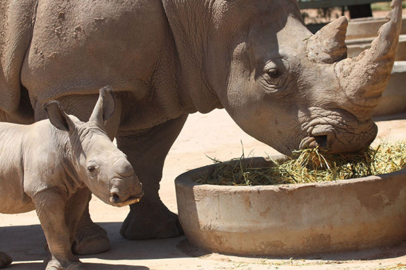 Baby white rhino and mother