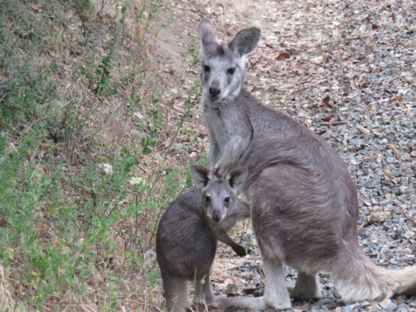 Wallaroo joey and mama