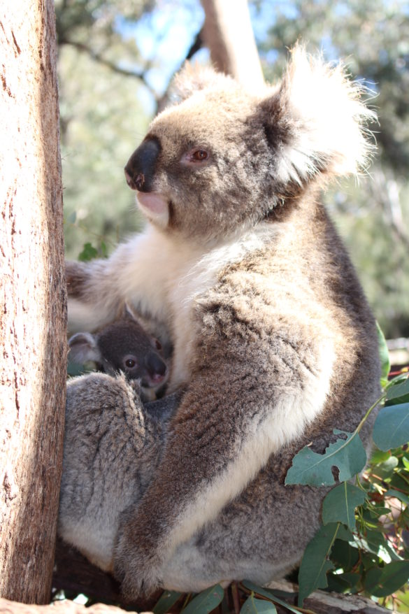 Koala mama and joey
