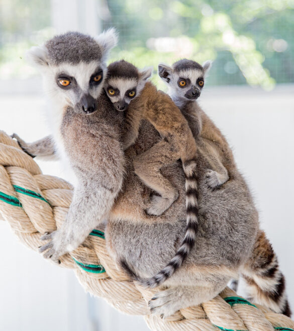 Baby lemurs and mother
