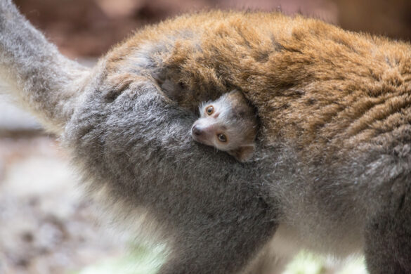 Baby crowned lemur