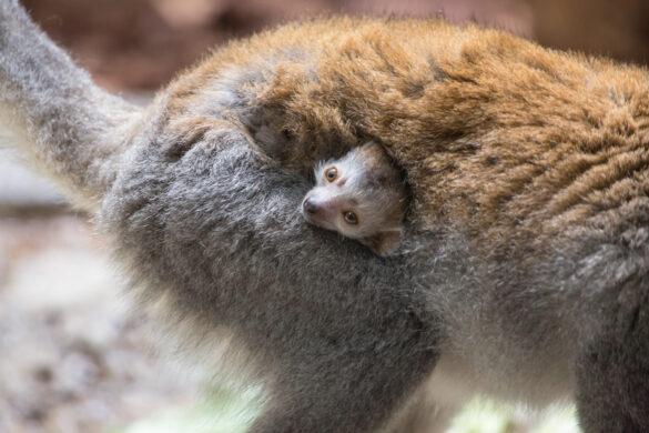 Baby crowned lemur