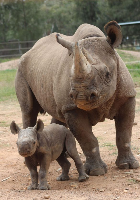 Female black rhino calf and mother