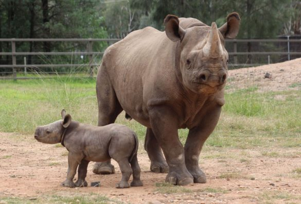 Southern black rhinoceros calf and mama at Taronga Western Plains Zoo