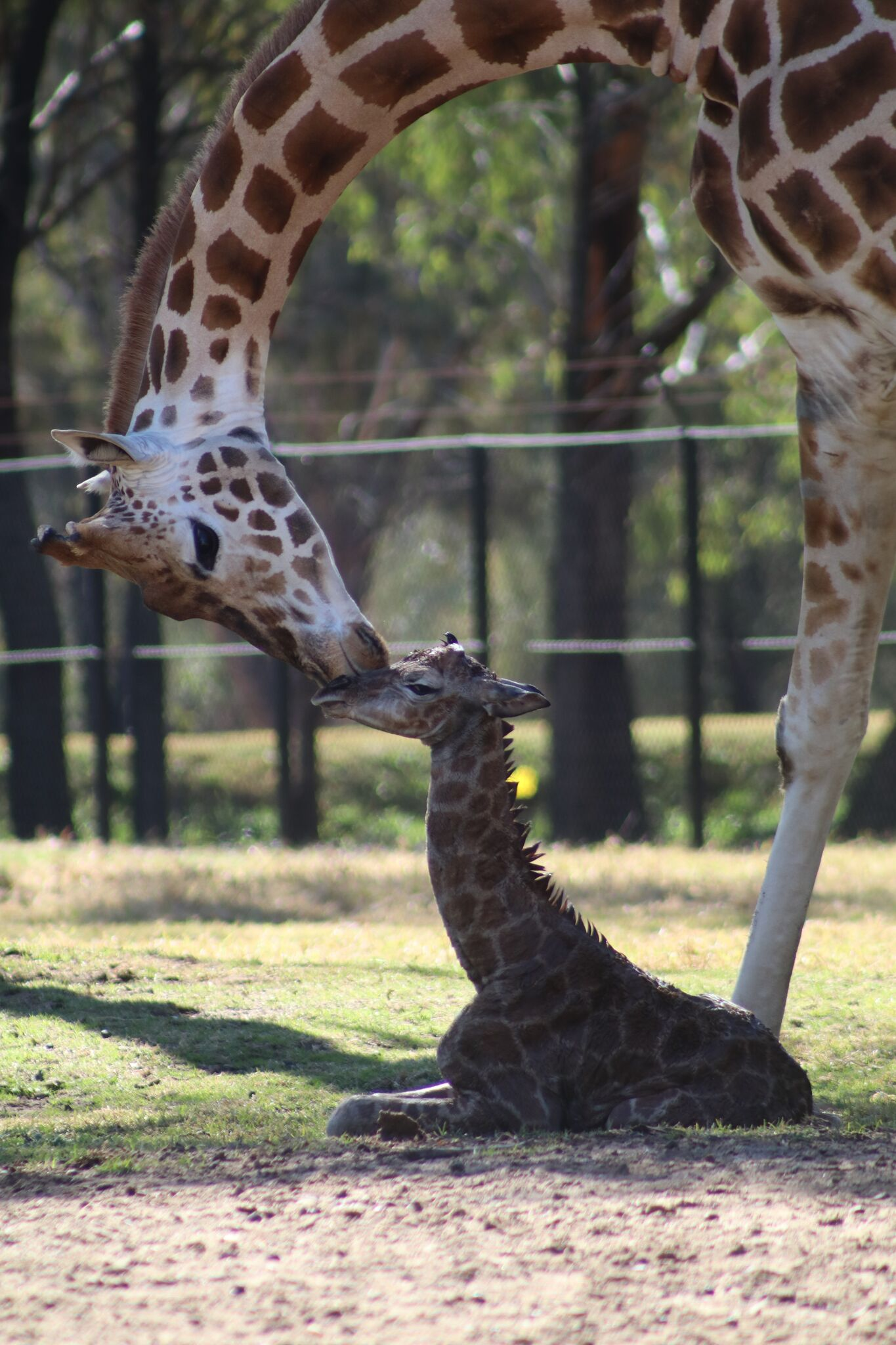Seeing Double Two Baby Giraffes Born At Taronga Western Plains Zoo