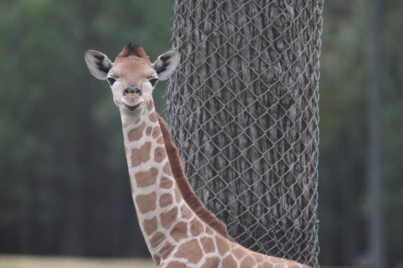 Baby giraffe at Taronga Western Plains Zoo