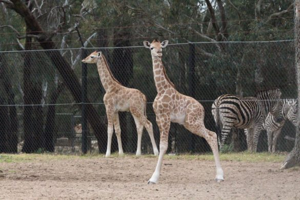 Two giraffe calves