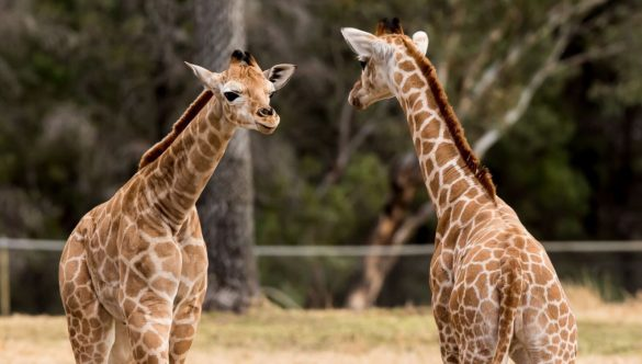Two baby giraffes
