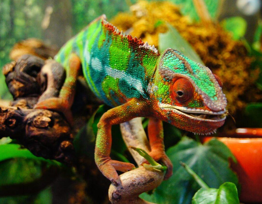 what makes a chameleon change color